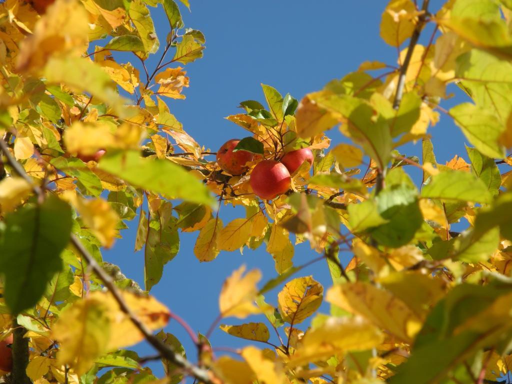 Äpfel am Baum gegen den Himmel fotografiert